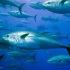 Allarme in California, pescati tonni radioattivi a largo delle coste